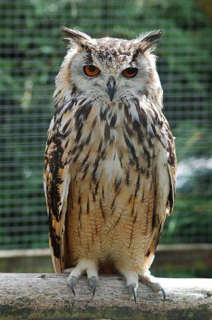 Owl definition