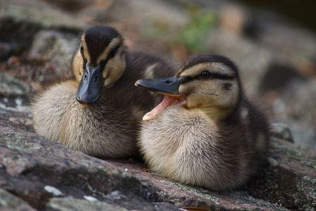 Two Ducklings - duck quotes