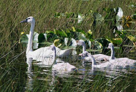 Swan Quotes and Quotations