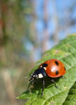 Lady Bug superstitions